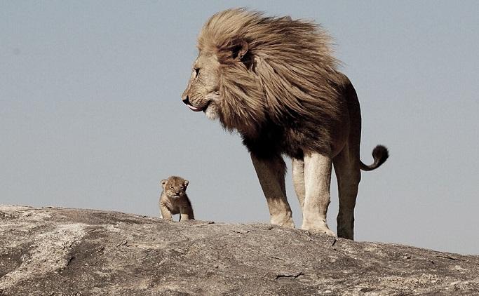 erkek-aslan_479590